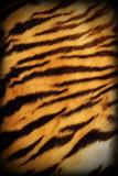 real tiger textured pelt poster