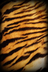 real tiger textured pelt