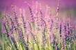 Obrazy na płótnie, fototapety, zdjęcia, fotoobrazy drukowane : Lavender flower