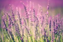 "Постер, картина, фотообои ""Lavender flower"""