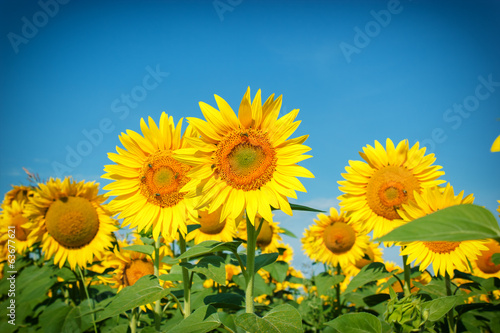 Field of sunflowers - bees collect nectar and pollen