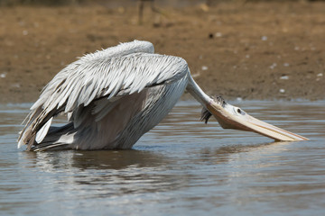 Pink-backed Pelican in a strange position
