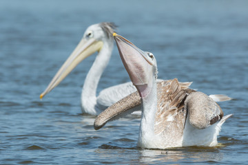 Pink-backed Pelican swallowing some fish