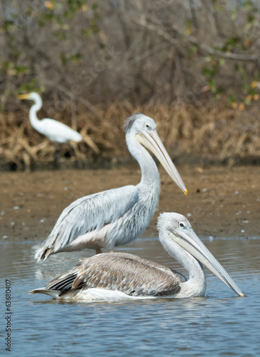 Two Pink-backed Pelicans in shallow water