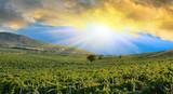 Sunrise over a grape field