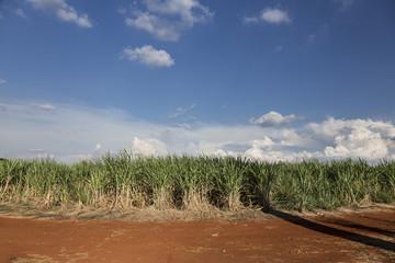 Brazilian Sugar cane