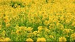 菜の花畑 field of rapeseed