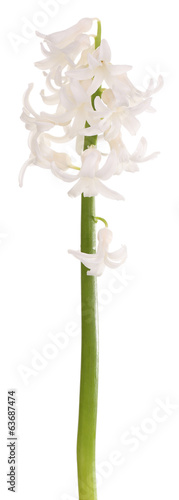 Beautiful hyacinth isolated on white