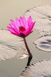 Beautiful pink water lily closeup