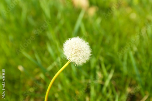 Beautiful dandelion outdoors