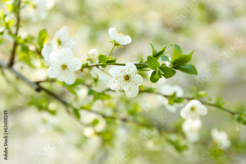 Beautiful fruit blossom outdoors