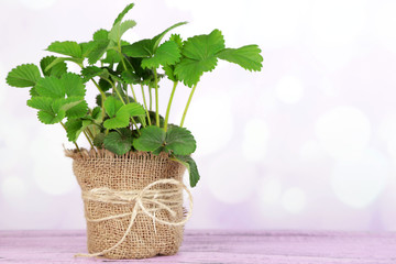 Strawberry bush in pot  on wooden table, on light background