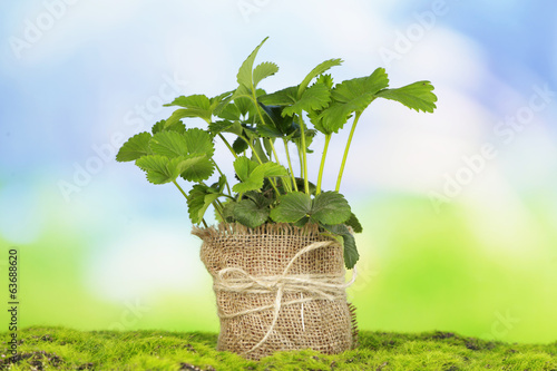 Strawberry bush in pot on grass on bright background