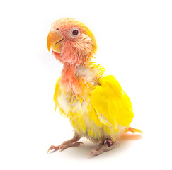Baby yellow love bird