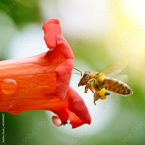 honey bee collects nectar