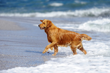 Young golden retriever on the beach