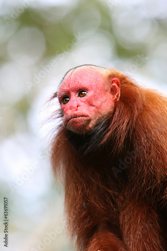 Bald Uakari Monkey