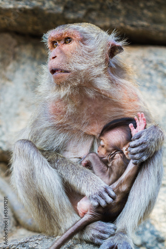 Macaque monkey and the cub