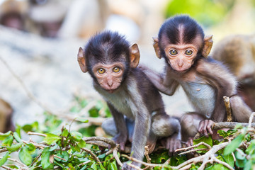 Baby macaque monkey