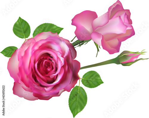 two isolated light pink roses and bud