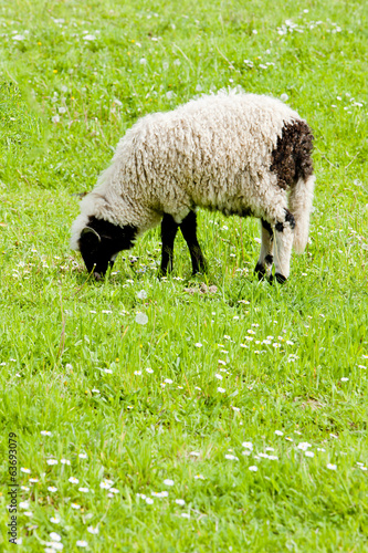 lamb on meadow