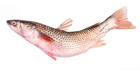 Fish pelengas