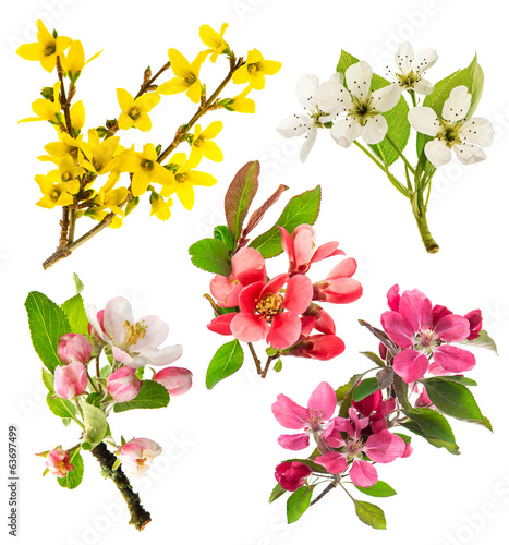 blossoms of apple tree, cherry twig, pear, forsythia