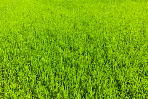 Rice close up, India