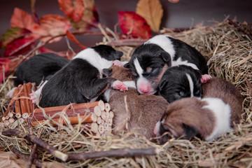 Cute newborn basenji puppies (first day) in nest