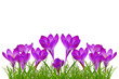 Purple crocus flowers isolated on white background.