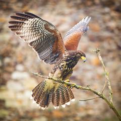 buzzard bird