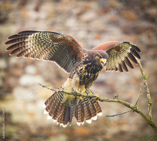 Foto op Aluminium Eagle buzzard bird