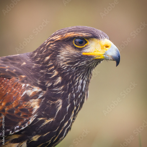 buzzard bird