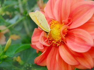 butterfly on dahlia flower
