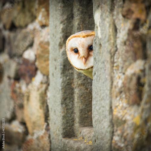 Plexiglas Uil barn owl bird