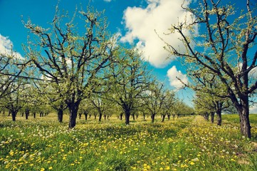 printemps, prunier