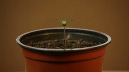 Cannabis plant seedling in pot, moving in wind.