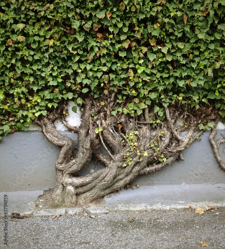 ivy tree on a wall