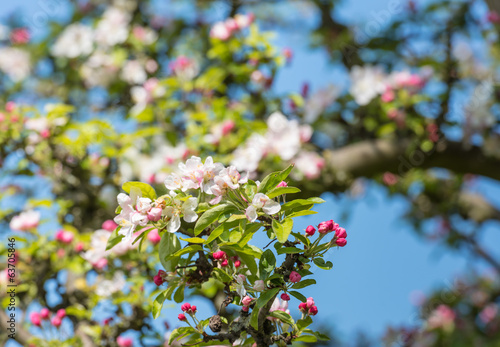 Crab apple buds and blossoms