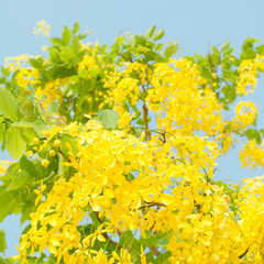 Golden shower tree (Cassia fistula) with blue sky