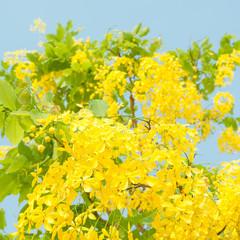Golden shower tree (Cassia fistula) with blue sky