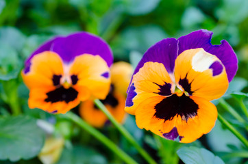 Orange and Purple  pansy flowers