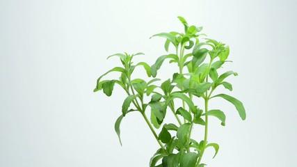 Stevia,frische Pflanze auf einem Drehteller