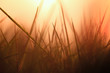canvas print picture - grasses back light