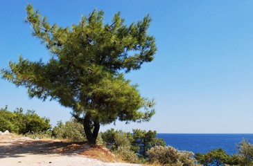 Pinetree on seaside