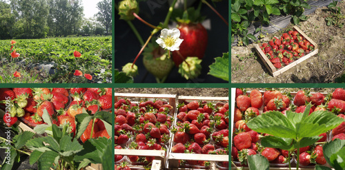 le fragole in campagna