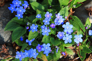 forget-me-not (spring flower)