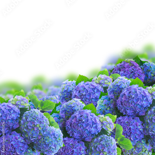 Poster Lilac blue hortensia flowers border