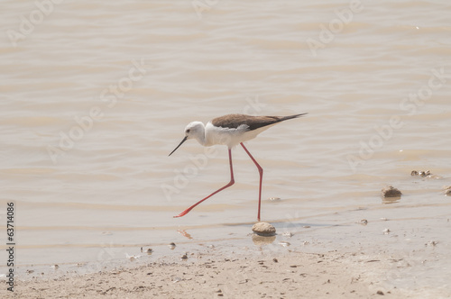 Black winged Stilt series 04