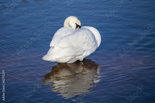 Swan in the blue ocean